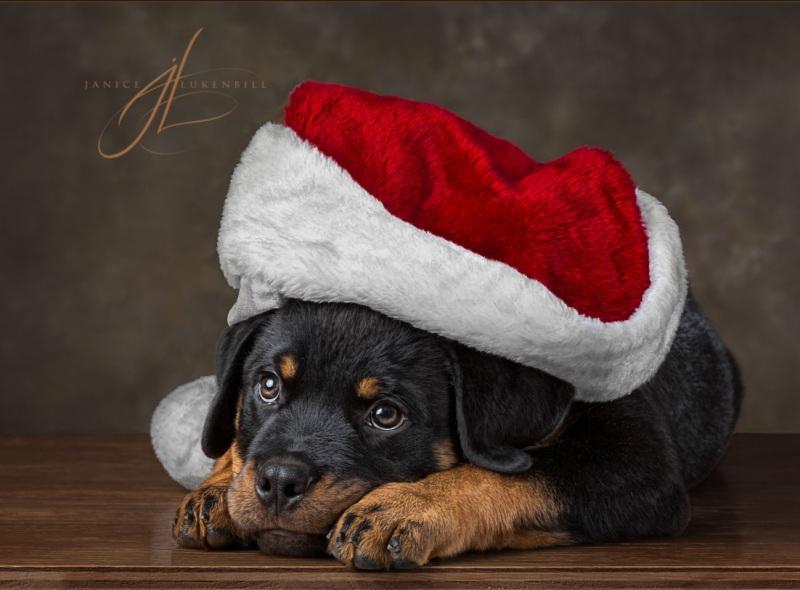 Rottweiler puppy in Santa hat