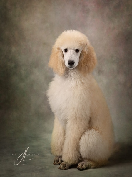 Cream Standard Poodle Puppy