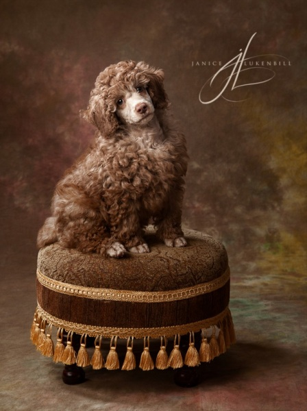 Poodle Puppy on a stool