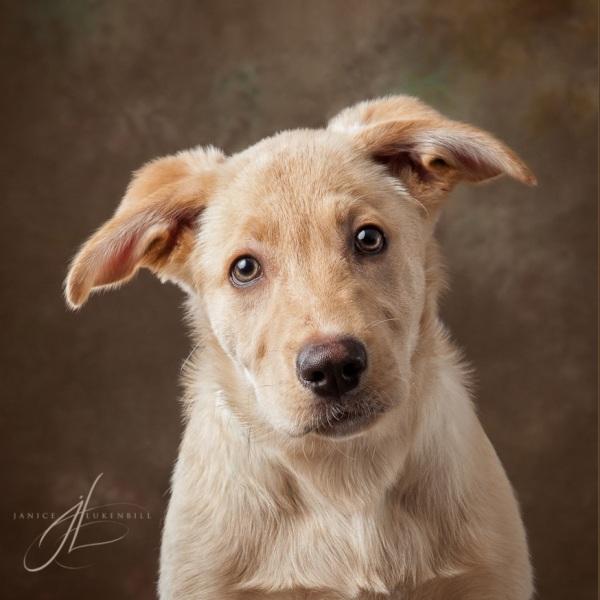 Sheprador puppy