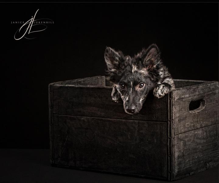 Mudi Puppy in a box