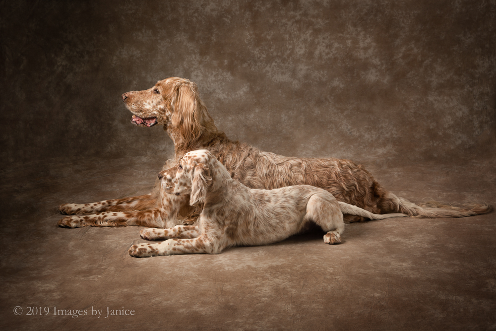 Rhys and Pascal – English Setter Pet Portrait Session