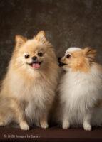Two adorable Pomeranians: a pet photography session recap
